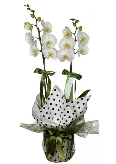 Çift Dallı Beyaz Orkide  Iğdır çiçekçiler güvenli kaliteli hızlı çiçek