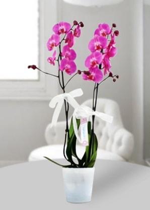 Çift dallı mor orkide  Iğdır Akyumak 14 şubat sevgililer günü çiçek