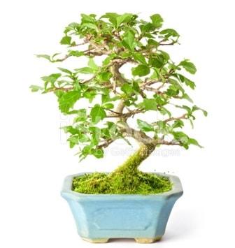 S zerkova bonsai kısa süreliğine  Iğdır Bağlar ucuz çiçek gönder