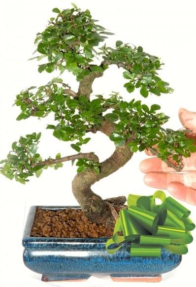 Yaklaşık 25 cm boyutlarında S bonsai  Iğdır Obaköy cicekciler , cicek siparisi