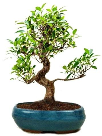 25 cm ile 30 cm aralığında Ficus S bonsai  Iğdır 14 kasım hediye çiçek yolla