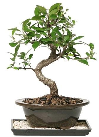 Altın kalite Ficus S bonsai  Iğdır Karaağaç internetten çiçek satışı  Süper Kalite