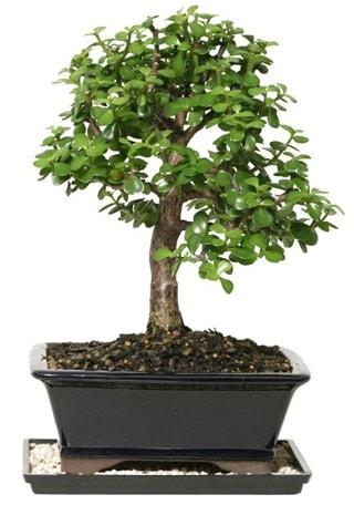 15 cm civarı Zerkova bonsai bitkisi  Iğdır Obaköy cicekciler , cicek siparisi