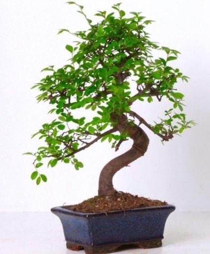 S gövdeli bonsai minyatür ağaç japon ağacı  Iğdır 14 kasım hediye çiçek yolla