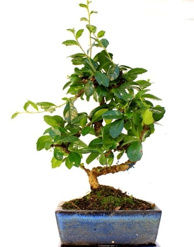 S gövdeli carmina bonsai ağacı  Iğdır 12 eylül çiçekçi mağazası  Minyatür ağaç