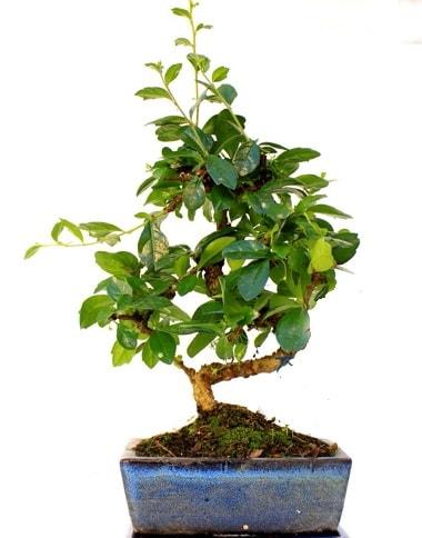 Bonsai Minyatür Ağaç Bonzai S Gövde  Iğdır Enginalan uluslararası çiçek gönderme