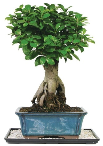 Bonsai Ginsing Grafted Ficus Bonsai  Iğdır 12 eylül çiçekçi mağazası