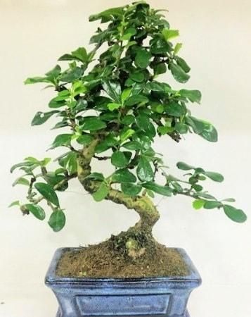Zelkova S gövdeli Minyatür ağaç Bonzai  Iğdır Söğütlü çiçek siparişi sitesi