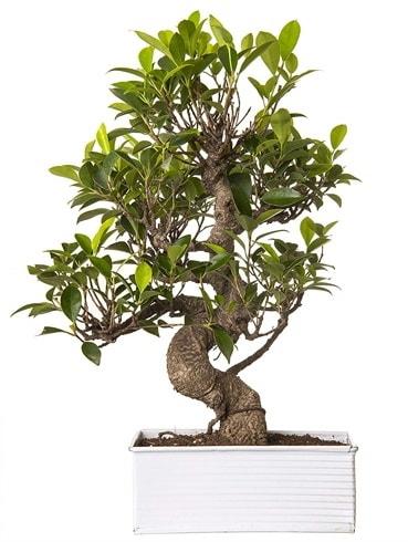Exotic Green S Gövde 6 Year Ficus Bonsai  Iğdır 14 kasım hediye çiçek yolla