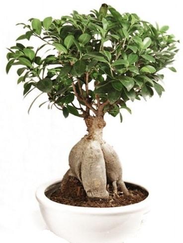 Ginseng bonsai japon ağacı ficus ginseng  Iğdır Bağlar ucuz çiçek gönder